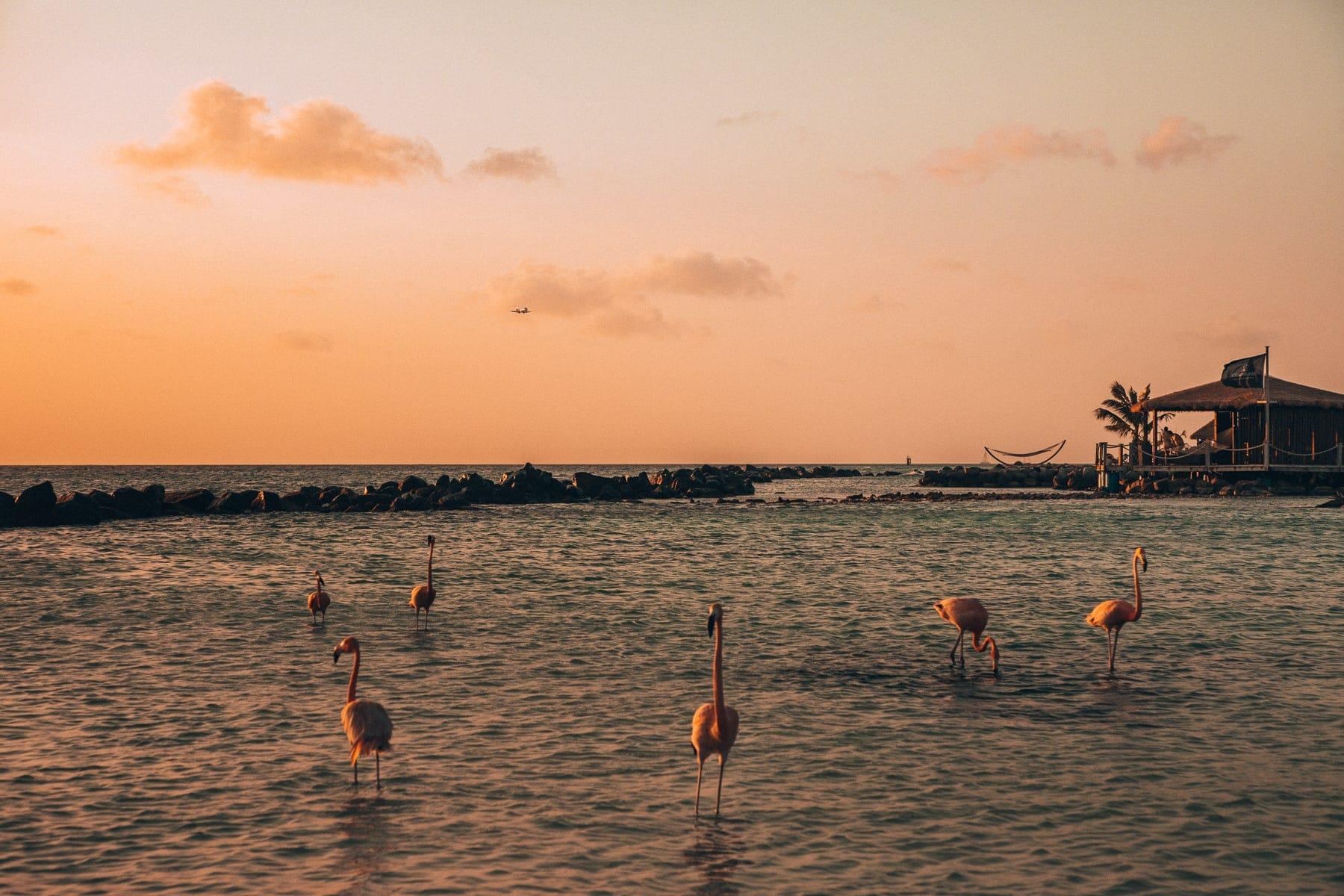 Flamingos am Flamingo Strand auf Aruba