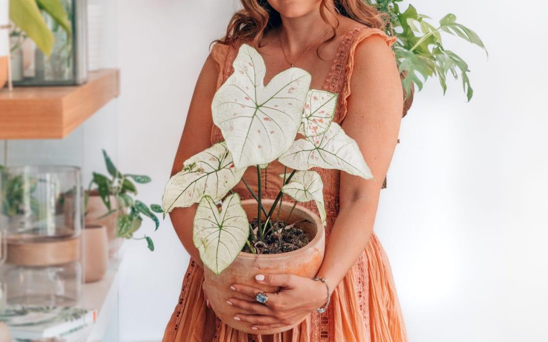 Caladium überwintern – So bereitest du deine Zimmerpflanze auf die kalte Jahreszeit vor