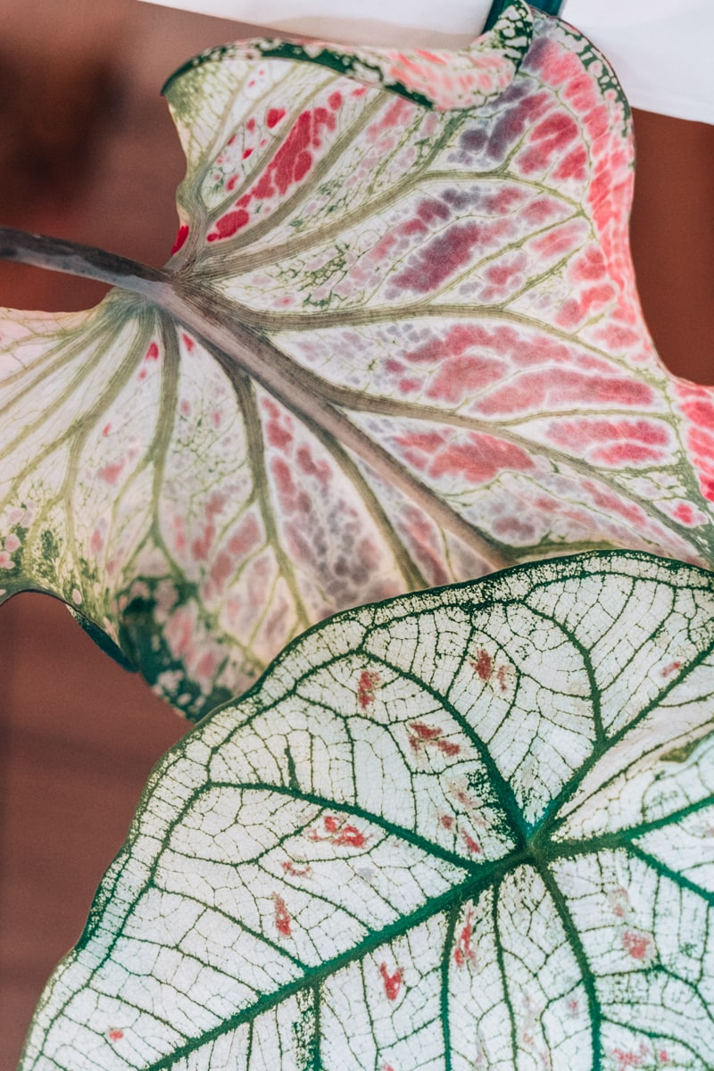 Caladium überwintern - So bereitest du deine Zimmerpflanze auf die kalte Jahreszeit vor