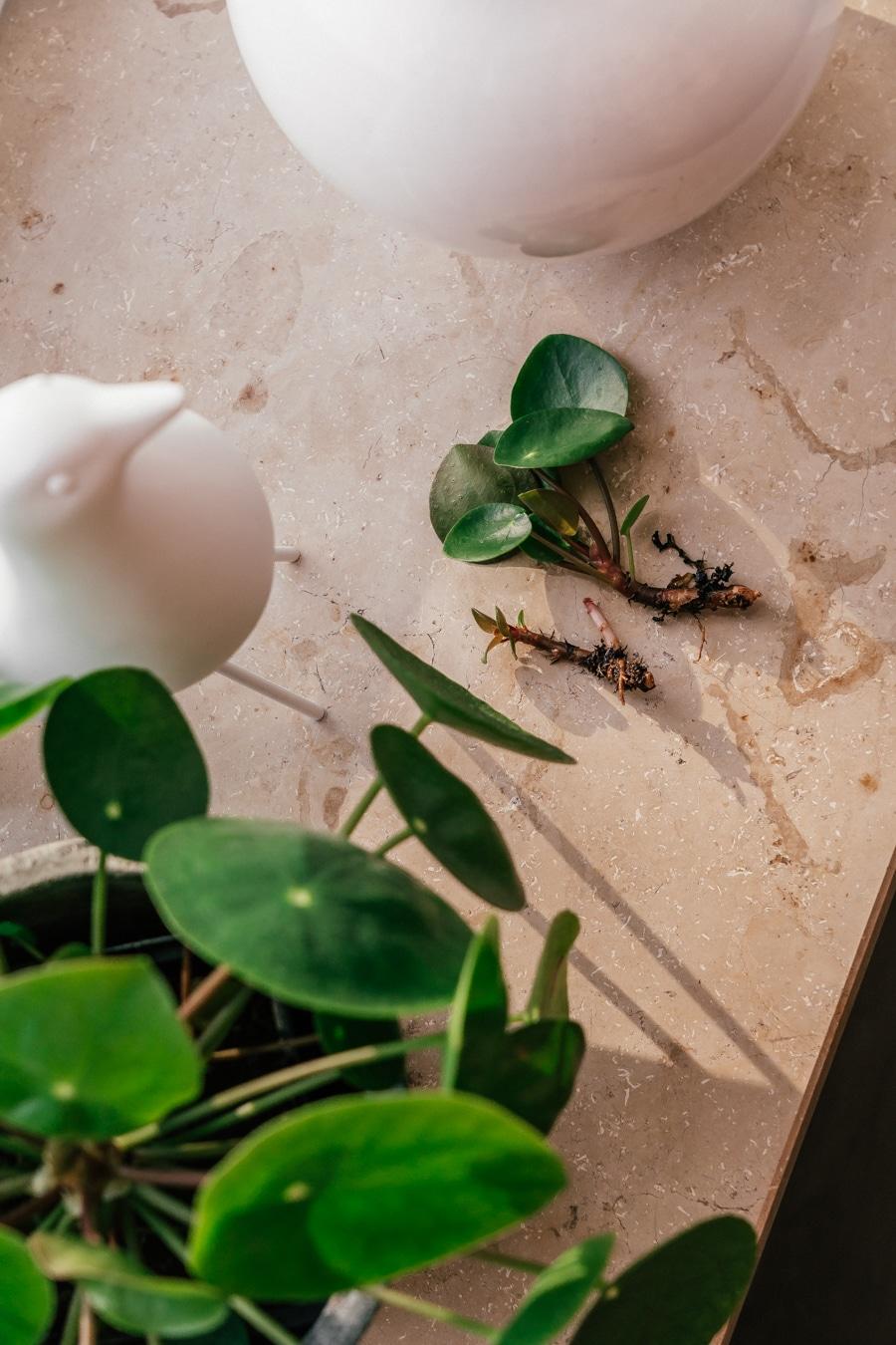 Pilea vermehren: So geht's! + 5 Tipps für Pflanzenanfänger