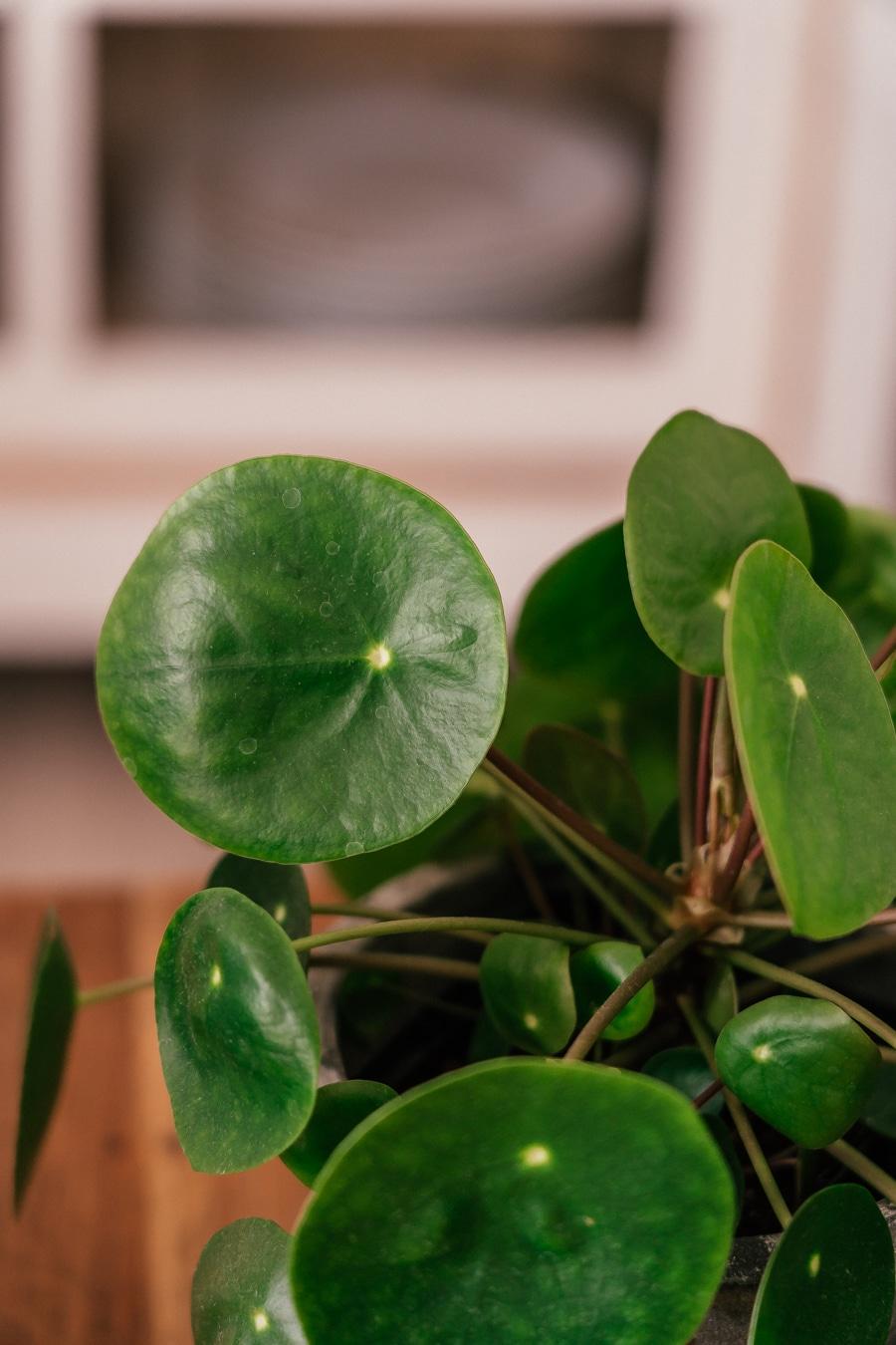 5 Tipps für Pflanzenanfänger: Deine Pilea richtig pflegen  Text: Damit du an deiner neuen Pflanze lange Freude hast, habe ich abschließend für dich fünf Tipps, wie du auch als Pflanzenanfänger deine Pilea ganz einfach glücklich machen kannst:  Der perfekte Platz: Für deine Pilea solltest du ein lichtdurchflutetes Plätzchen suchen. Jedoch mag sie keine direkte Sonneneinstrahlung. Richtig gießen: Nicht zu viel gießen? Das gilt bei Pilea eher nicht, denn sie mag es recht feucht. Berühre die Erde immer wieder und wenn sie trocken, dann kannst du deine Pflanze gießen. Aber Vorsicht: Staunässe bitte auch bei Pileas vermeiden! Pileas mögen Luftfeuchtigkeit: Deshalb lieben Ufopflanzen es auch sehr, im Bad zu stehen. Pflanze drehen: Du solltest deine Pilea häufiger drehen. Der Grund: Sie wächst in die Richtung des Sonnenlichts und ohne das Drehen, ist sie irgendwann sehr ungleichmäßig. Umtopfen nicht vergessen: Etwa alle sechs Monate solltest du deine Ableger umtopfen, sodass sie genügend Platz haben und weiter wachsen können.